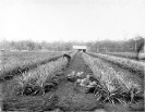 First crop of pineapples at the State Farm, Beerburrum, January 1920