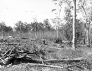Land clearing, Beerburrum, December 1916