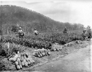 Picking pineapples on the State Farm, Beerburrum, January 1920