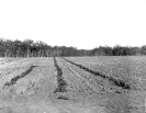 Pineapples and vegetables on the training farm, Beerburrum, July 1917
