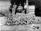 Pineapples for shipping, Beerburrum, January 1920