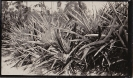 Pinespples Jack Walker farm Beerburrum undated
