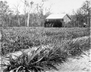 Soldier's home, Beerburrum, January 1920