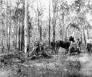 Stump grubbing, Beerburrum, December 1916