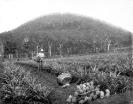 Training farm, Beerburrum, January 1920