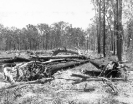 Tree clearing, Beerburrum, December 1916