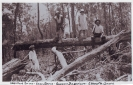 Tree Felling Beerburrum 1931