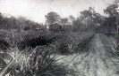 William Milburn farm Beerburrum c1919