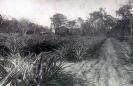 William Milburn farm Beerburrum c1919